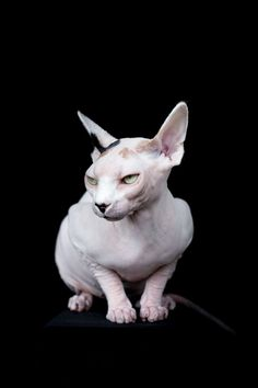 Los Angeles-based photographer Alícia Rius captures the beauty of sphynx cats in her dramatic series aptly titled Sphynxes. Animals And Pets, Funny Animals, Cute Animals, Cute Cats, Funny Cats, Bambino Cat, Sphinx Cat, Cat Photography, Cat Facts