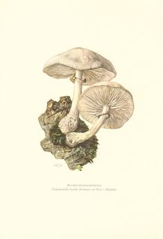 1961 Porcelain Fungus, Oudemansiella mucida Vintage Offset Lithograph