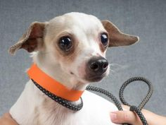 Adopt WAKELY - Colorado Springs, CO. - 1 year old Male Chihuahua/Terrier Mix. ID# 31985842. STILL LISTED as of 9/08/2016.
