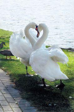 A Beautiful Swan Heart. Caption Corner - Swans :) http://pinterest.com/intlhomeshow/