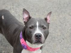 SUPER URGENT  02/01/17 A volunteer writes: This pretty little pibble girl seemed a bit shy when I first approached her cage-- but the second I got close and it was clear she was about to go for a walk, she couldn't contain her excitement! Soho seems to be housetrained, is very easy to walk, and walks with a little sashay and tail wag that just can't be resisted (much like her cute little bat ears!). Soho loves butt scratches, scratches behind the ears, and giving kisses. She...