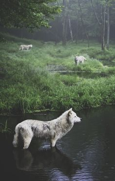 Wolves. #wild #animal #forest #meadow #woodland #cute #outdoors #wilderness #creatures #wolf