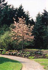 Robin Hill Serviceberry (Amelanchier x grandiflora 'Robin Hill') at Oakland Nurseries Inc