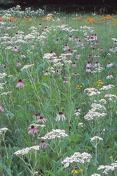 Low Growing Prairie for Clay Soils (Nodding Pink Onion / Butterflyweed for Clay / Smooth Aster / Canada Milk Vetch / Cream False Indigo / Wild Hyacinth // Lanceleaf Coreopsis / White Prairie Clover / Purple Prairie Clover / Shootingstar ...)