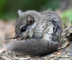Southern Flying Squirrel (Glaucomys volans) photographed by Steve Collins in howard Maryland, USA. Flying Squirrel Pet, Japanese Dwarf Flying Squirrel, Animals And Pets, Baby Animals, Cute Animals, Hamsters, Rodents, Woodland Creatures, Cute Creatures