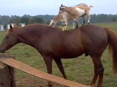 Goats Riding Horses Because The Internet Exists -  #goats #horses #riding