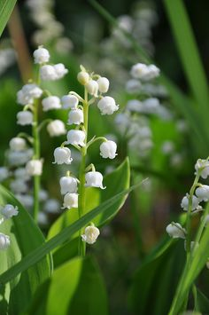 Lilly of the Valley My Birth Flower