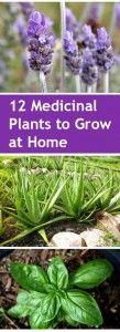 12+Medicinal+Plants+to+Grow+at+Home