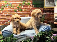 Labradoodle medium Australian Labradoodle, Pup, Medium, Dogs, Animals, Animales, Dog Baby, Animaux, Pet Dogs