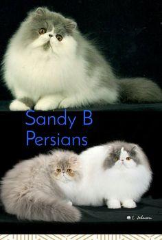 20 Best CFA  Persians Cat Breeder   images   Persian kittens