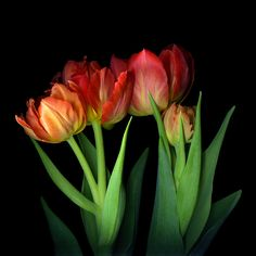 Photograph A MASTERPIECE... TULIPS by Magda Indigo on 500px