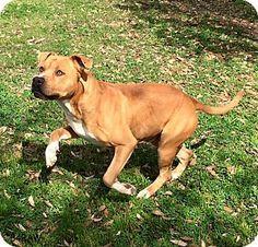 Boston, MA - Boxer/Pit Bull Terrier Mix. Meet A - CAPTAIN, a dog for adoption. http://www.adoptapet.com/pet/15904712-boston-massachusetts-boxer-mix