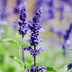 Natures Sunshine, Greenery, Lavender, Herbs, Yard, Flowers, Gardening, Tattoos, Plants