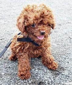 Jasper5 Poodle Puppy Miniature, Mini Poodle Puppy, Teacup Poodle Puppies, Tiny Toy Poodle, Poodle Puppies For Sale, Toy Puppies, Cute Puppies, Dogs And Puppies, Teacup Poodles For Adoption