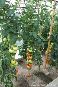 Tomaten - bladeren wegknippen deel 2