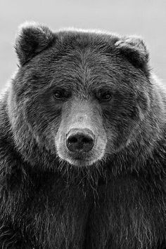 Grizzly Bear Facts, Grizzly Bear Drawing, Ours Grizzly, Grizzly Bear Tattoos, Grizzly Bears, Bruder Tattoo, Bear Spirit Animal, Bear Skull, Bears