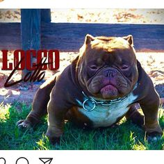 Locco Lotto breeding going down in ATL in the morning with Hazel (haze daughter) via surgical A.I.  I hope this one takes!!! This is a  @theoriginalbullyplug + @zone3bullycamp_danny collab ....Danny i appreciate you coming to the vet tomorrow on such short notice bro!! Going to be blue tris that carry chocolate. #luxurybullies #theoriginalbullyplug  #thebullyplug #americanbully #exoticbully #luxurybulliesfam #luxurybullies #luxury #bullies #ibr #abkc #exotic #atlanta #bullyshow #chocola...