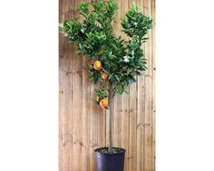 DUŻE PIĘKNE DRZEWKO SŁODKIEJ POMARAŃCZY - POMARAŃCZA - Z OWOCAMI! ok.150cm - SICILIE | CYTRUSY - Internetowa sprzedaż roślin doniczkowych