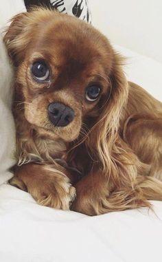 6 Dog Breeds That Make The Best Emotional Support Animals - Süße Hundebilder -. - 6 Dog Breeds That Make The Best Emotional Support Animals - Süße Hundebilder - Sweet Dogs! Super Cute Puppies, Baby Animals Super Cute, Cute Baby Dogs, Cute Little Puppies, Cute Dogs And Puppies, Cute Little Animals, Pet Dogs, Pets, Doggies
