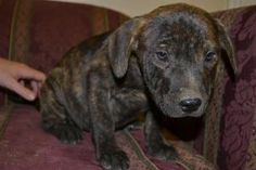 Peanut-LOCAL is an #adoptable Labrador Retriever mix  #Puppy Dog in #Lebanon, #MAINE. Peanut is a cute little 2 months old mixed breed dog, guesses of his breed mix include Plott Hound, Lab, Mountain Cur, B...