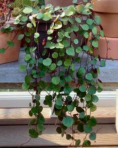 Indoor Shade Plants, Outdoor Plants, Indoor Hanging Plants, Indoor Climbing Plants, Inside Plants, Cool Plants, Easy Plants To Grow, Big Plants, Planting Succulents