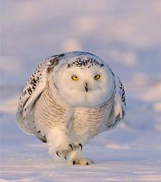 That is one determined owl.  Best just get out of his way!