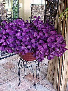 Oxalis triangularis, commonly called False Shamrock, Love Plant and Purple Shamrock, is a species of edible perennial plant in the Oxalidaceae family. The leaves react in response to light levels, ope Purple Flowers, White Flowers, Beautiful Flowers, Purple Plants, Lavender Flowers, Flowers That Like Shade, Annual Flowers For Shade, Beautiful Gorgeous, Container Plants
