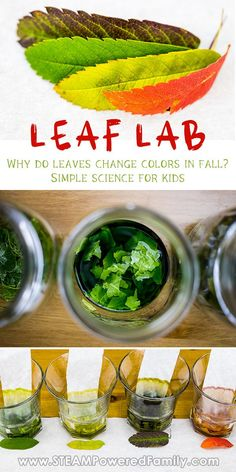 The best fall science experiment for kids - explore why leaves change colour in the Autumn using only one ingredient! We love #simplescience for kids! We dove into this experiment with big expectations, only to be disappointed. But using our scientific method we discovered some amazing science, created some gorgeous nature chromatography, and learned some fascinating science. We also learned the power of critical thinking and the scientific method. #FallScience #ScienceExperiments #AutumnScience