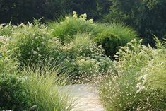 """Meadow terrace of boxwood, grasses and perennials, including Sedum """"Frosty Morning"""", Echinacea """"White Swan"""", a white butterfly bush buddleia, Hydrangea paniculata, gaura and Gomphrena """"Fireworks"""". Some blue-flowering plants intermingled, incl Verbena bonariensis, salvias and Russian sage but the blues do not show up until sunset, when the angle of the late afternoon light emphasizes the color 