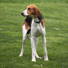Grand Anglo-Français Tricolore / Grand Anglo-Francais Tricolore Dog