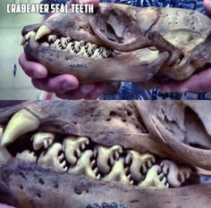 """""""The bizarre teeth of the crab-eater seal(Lobodon carcinophaga). They don't actually eat crabs, but krill. Their teeth have evolved specifically for this diet and filter the water for their tiny crustacean prey. Wtf Fun Facts, Crazy Facts, Random Facts, Odd Facts, Awesome Facts, Animal Facts, Animal 2, The More You Know, Mother Nature"""