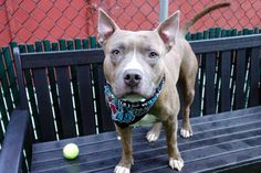 GRYFFINDOR - A1124894 - - Manhattan  TO BE DESTROYED 09/18/17 **AVERAGE RATED CUTIE AVAILABLE FOR PUBLIC ADOPTION** A volunteer writes: A well known house in the School of Hogwarts, it's values are courage, bravery and determination. And our Gryffindor displays all those attributes and adds the following: good leash manners, likely housetrained, and an enjoyment of play time. And let's not forget his love of butt scratches, as he carefully positions himself to a