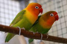 LoveBirds: Agapornis