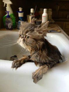 Sedating a cat to take to vet verb