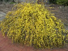 Winter jasmine would work on the hill along the side walk