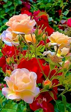 Good Morning with Flowers Good Morning Beautiful Pictures, Good Morning Images Flowers, Good Morning Roses, Good Morning Picture, Morning Pictures, Beautiful Flowers Wallpapers, Beautiful Roses, Beautiful Gardens, Image Nature