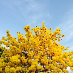 You're the yellow flowers in the tree Plant Aesthetic, Aesthetic Colors, Flower Aesthetic, Aesthetic Grunge, Aesthetic Photo, Aesthetic Pictures, Aesthetic Yellow, Aesthetic Pastel, Pastel Yellow