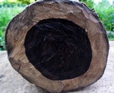 Texas ebony tree wood