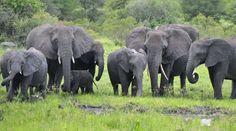 Ein schreckliches Schicksal. 36 Elefantenkinder wurden in Simbabwe gefangen. Sie sollen an Zoos in Asien verkauft werden. Für die Tiere endet die Gefangennahme nicht selten mit dem Tod. Ohne Familie können Elefanten nicht gesund und glücklich aufwachsen. Wir fordern: Stoppt den Elefantenhandel! Unterschreiben Sie unsere Petition: https://www.regenwald.org/aktion/981/nicht-in-den-zoo-lasst-die-elefantenkinder-frei