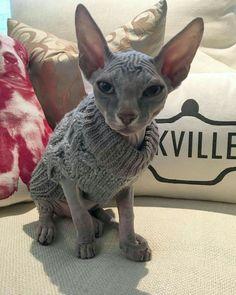 New Ideas Cats Sphynx Animals Sphinx Cat, Rex Cat, Cat Pose, Cat Aesthetic, Cat Sitting, Cat Breeds, Crazy Cats, Cool Cats, Cat Day