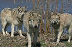 Wolf Park by doghike on Flickr