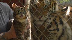 Ayer, Día Internacional del Tigre, Greenpeace lanzó este video donde una quincena de gatos muestran su apoyo a sus primos mayores.| Cats Save Tigers – Starring Lil BUB and friends