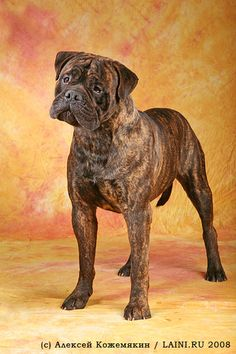 Bullmastiff (also come in fawn with a black mask, and sometimes have white patches on the chest, etc.) My Nakira is half Bullmastiff, Half American bulldog making her an American Bandogge Mastiff