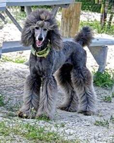 Poodle Dogs Grooming Rain - Poodle Forum - Standard Poodle, Toy Poodle, Miniature Poodle Forum ALL Poodle owners too! Dog Grooming Styles, Poodle Grooming, Goldendoodle Grooming, Poodle Haircut Styles, Poodle Hairstyles, Poodle Cuts, Dog Pictures, Dog Photos, Dog Love