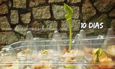 Children's Home Education: Science Experiment - Planting beans germinated in cotton