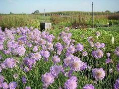 Scabiosa columbaria 'Butterfly Blue'', ook wel duifkruid genoemd, is een bladverliezende vaste plant met een bossige, polvormende habitus. De bladeren zijn grijsgroen tot middengroen en gelobd aan de basis, de bovenbladeren zijn geveerd. Dit duifkruid bloeit van juni tot oktober met lavendelblauwe solitaire bloemen met een licht centrum. Tijdens de bloei dienen uitgebloeide bloemen verwijderd te worden om een verlengde bloei te stimuleren. Scabiosa columbaria houdt van een zonnige...