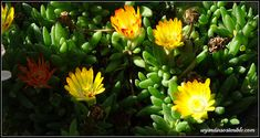 unjardinsostenible.com: Delosperma (Alfombra rosa) Plants, Annual Plants, Ice Plant, Pink Rug, Morning Sun, Soil Type, Hanging Plants, Plant, Planets