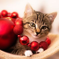 deck the halls,,,and don't forget the Christmas kitty,,,