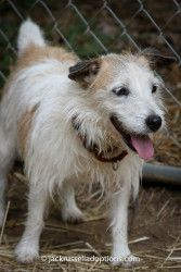 Elanor is an adoptable Jack Russell Terrier Dog in Conyers, GA. I was dropped off at JRT rescue several years ago with Eli, my hubby and partner in terrier crime. We were breeder dogs and, much to the...