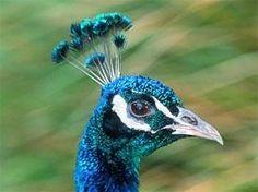 http://cache.jalopnik.com/assets/images/12/2006/06/peacock_headshot.jpg